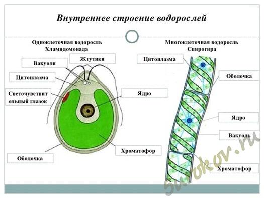 где обитают водоросли какое строение имеют водоросли